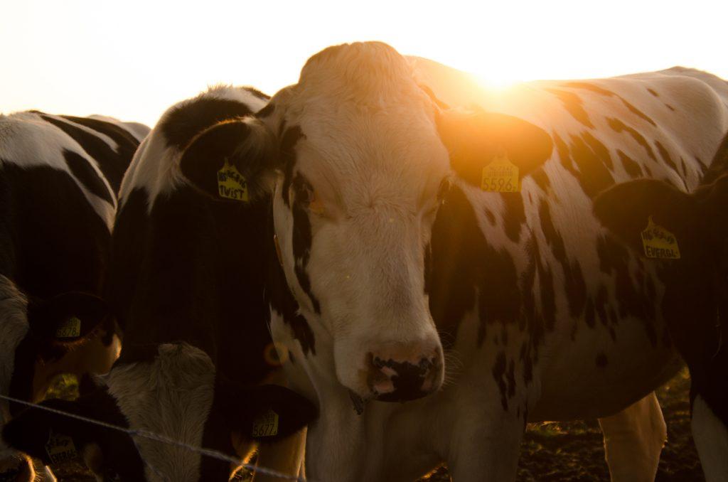 Koeien in de ochtendzon