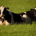 Twee koeien in de wei